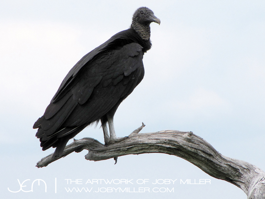 Turkey_Vulture_Nature_Photography_JobyMiller